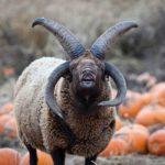 Petting zoo calls in exorcist for four horned 'devil' sheep