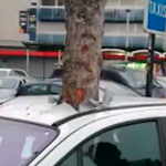This Is Witchcraft, The Tree Grew Overnight And Burst Right Through The Car